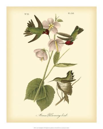 john-james-audubon-anna-hummingbird
