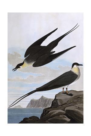 john-james-audubon-arctic-yager