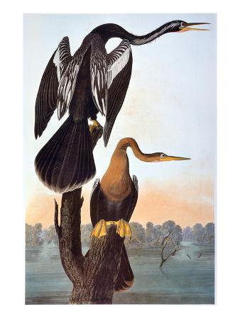 john-james-audubon-audubon-anhinga