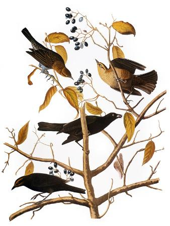 john-james-audubon-audubon-blackbird-1827