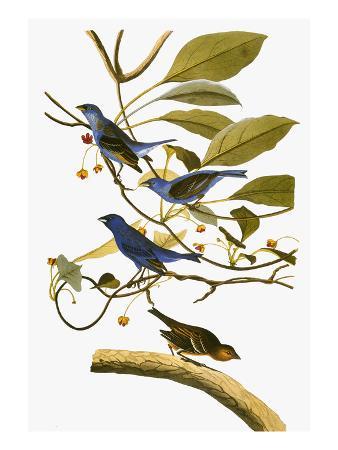 john-james-audubon-audubon-bunting-1827-38
