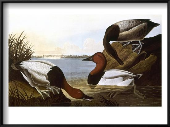 john-james-audubon-audubon-canvasback-1827