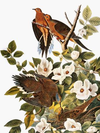 john-james-audubon-audubon-dove