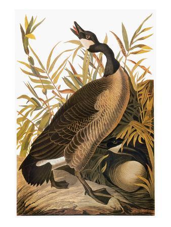 john-james-audubon-audubon-goose