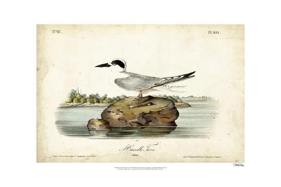 john-james-audubon-audubon-havells-tern
