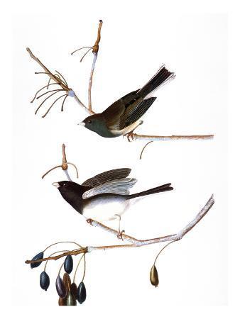 john-james-audubon-audubon-junco-1827