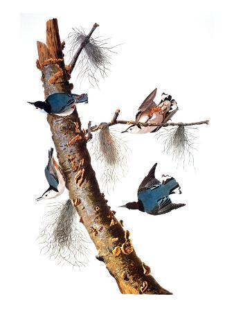 john-james-audubon-audubon-nuthatch