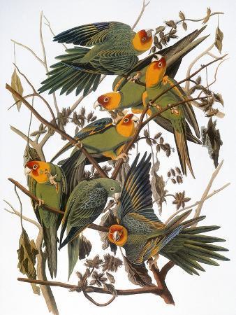 john-james-audubon-audubon-parakeet