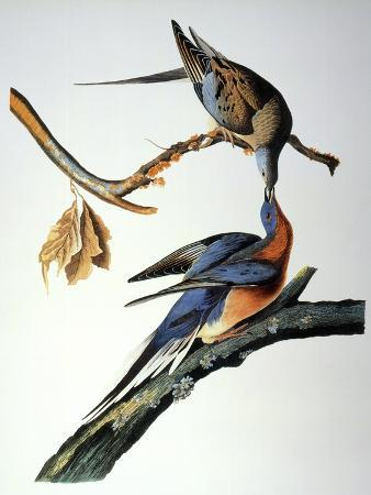 john-james-audubon-audubon-passenger-pigeon