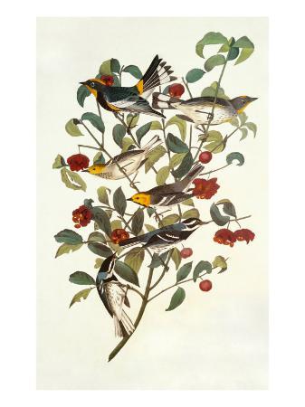 john-james-audubon-audubon-s-warbler