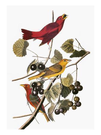 john-james-audubon-audubon-tanager