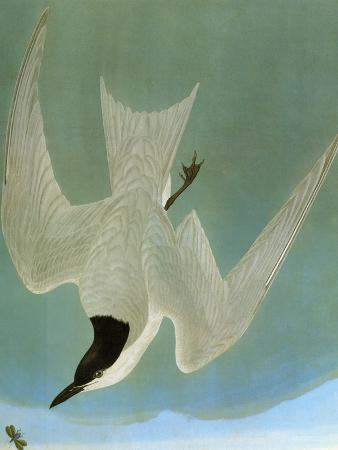 john-james-audubon-audubon-tern