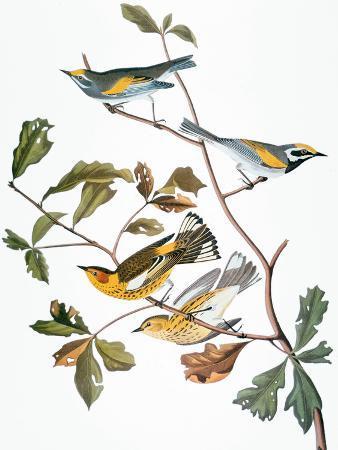 john-james-audubon-audubon-warbler