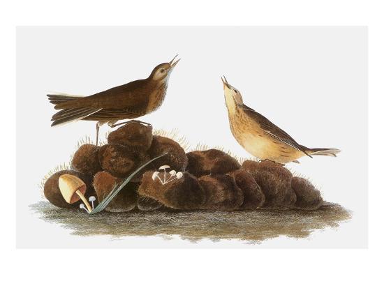 john-james-audubon-audubon-water-pipit-1827