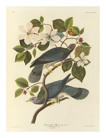 john-james-audubon-band-tailed-pigeon