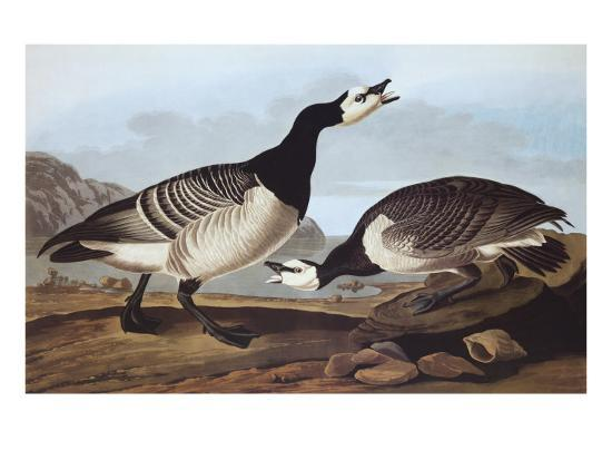 john-james-audubon-barnacle-goose