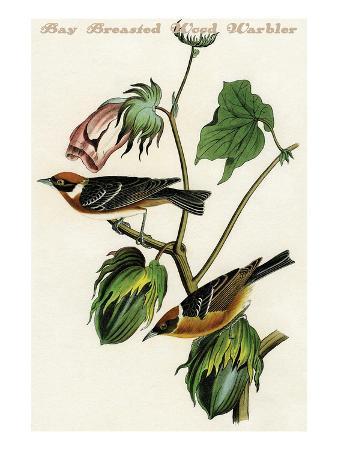 john-james-audubon-bay-breasted-wood-warbler