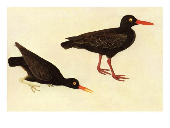 john-james-audubon-black-oystercatcher