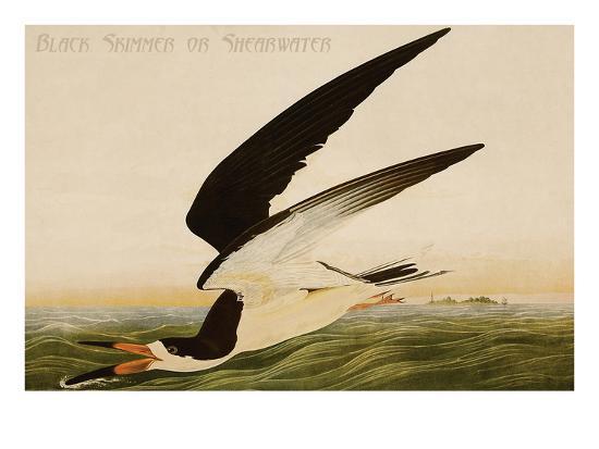 john-james-audubon-black-skimmer-or-shearwater