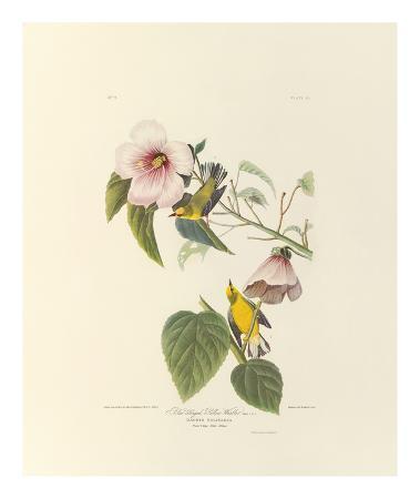 john-james-audubon-blue-winged-yellow-warbler