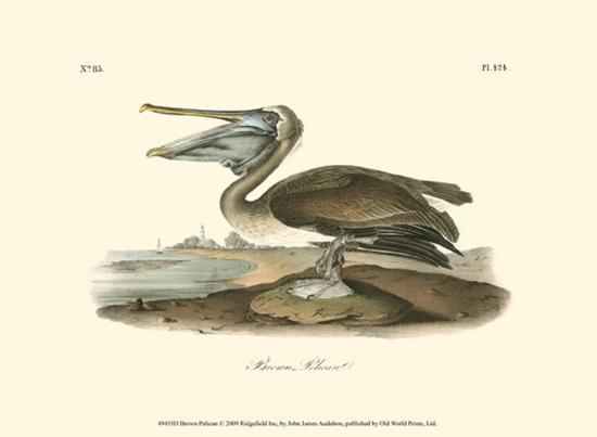 john-james-audubon-brown-pelican