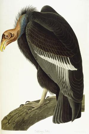 john-james-audubon-californian-vulture-old-male-1838