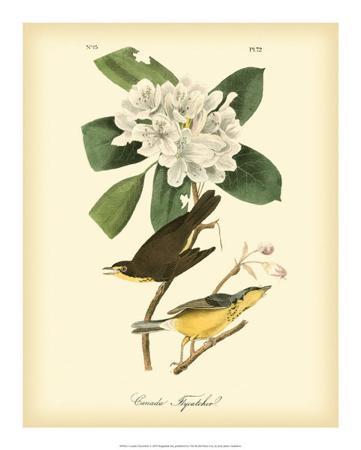 john-james-audubon-canada-flycatcher