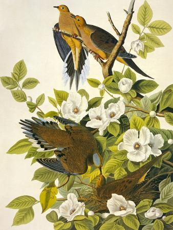 john-james-audubon-carolina-turtle-dove