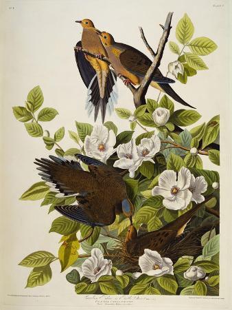 john-james-audubon-carolina-turtledove-mourning-dove-zenaida-macroura-plate-xvii-from-the-birds-of-america