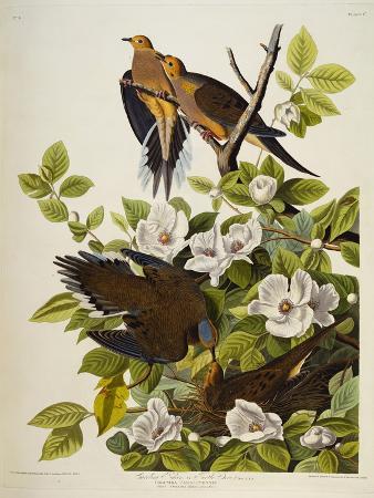 john-james-audubon-carolina-turtledove-mourning-dove