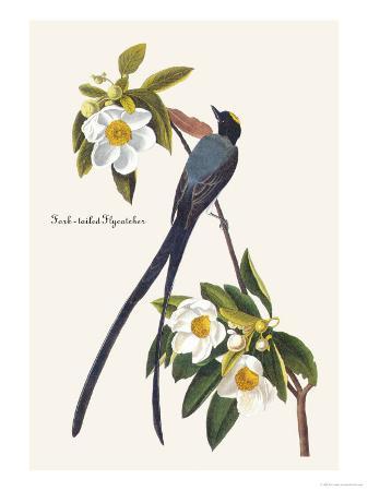 john-james-audubon-fork-tailed-flycatcher