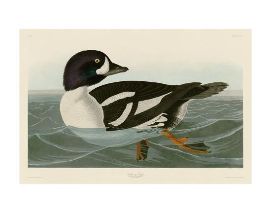 john-james-audubon-golden-eye-duck