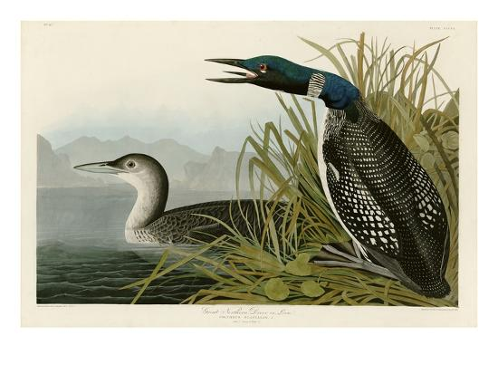 john-james-audubon-great-northern-diver-or-loon