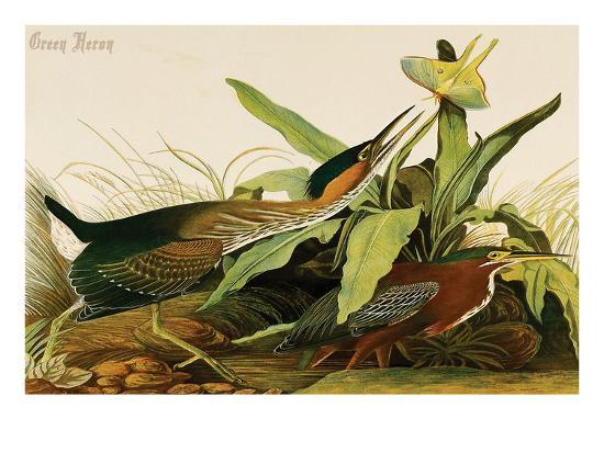 john-james-audubon-green-heron