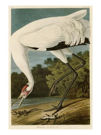 john-james-audubon-hooping-crane