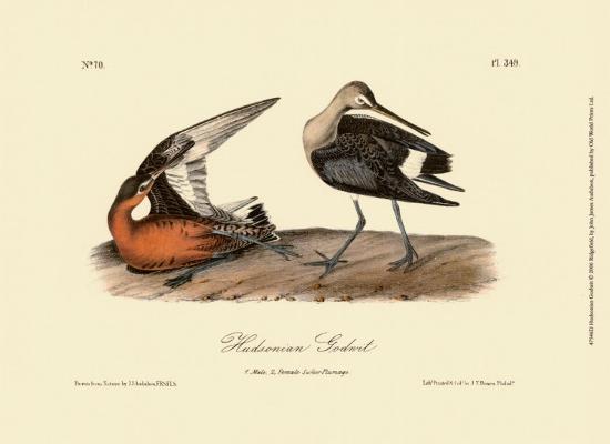 john-james-audubon-hudsonian-godwit