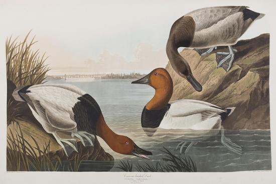 john-james-audubon-illustration-from-birds-of-america-1827-38-hand-coloured-and-aquatint