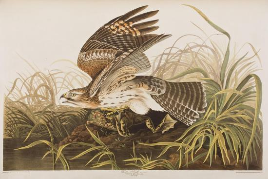 john-james-audubon-illustration-from-birds-of-america-1827-38-hand-coloured-and-aquatint