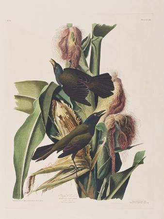 john-james-audubon-illustration-from-birds-of-america-1827-38
