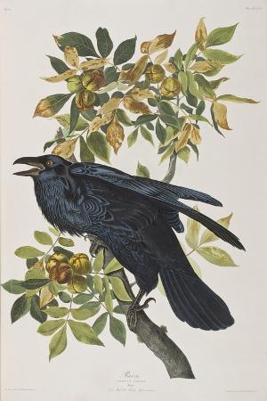john-james-audubon-illustration-from-birds-of-america-1827-38