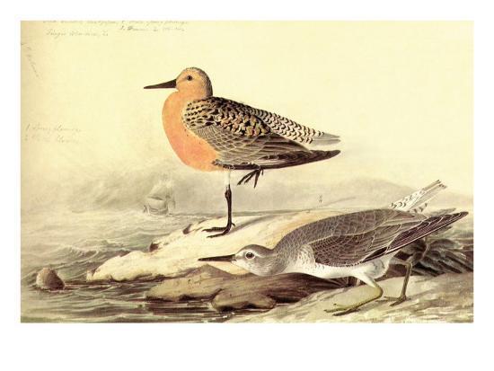 john-james-audubon-leach-s-petril