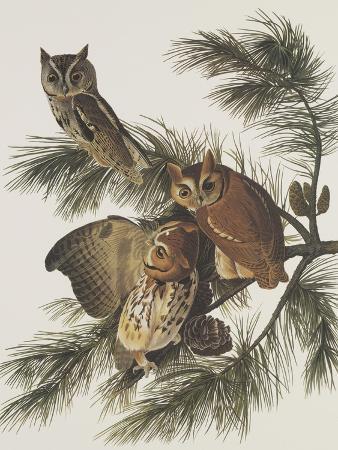 john-james-audubon-little-screech-owl-or-mottled-owl