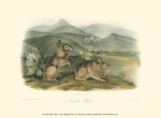 john-james-audubon-nuttall-s-hare