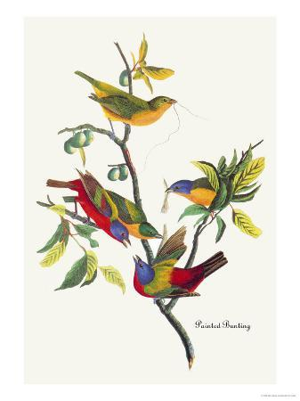 john-james-audubon-painted-bunting