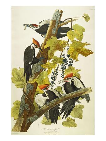 john-james-audubon-pileated-woodpecker-dryocopus-pileatus-plate-cxi-from-the-birds-of-america