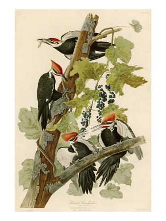 john-james-audubon-pileated-woodpecker