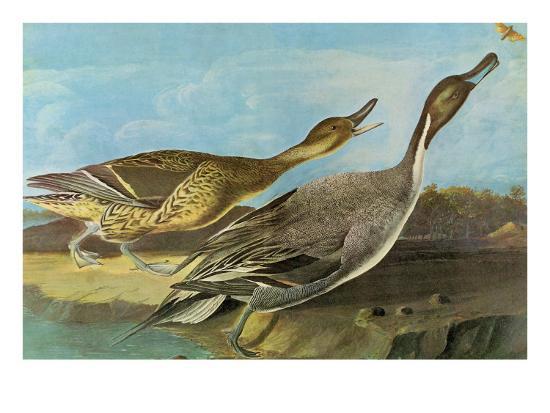 john-james-audubon-pintail