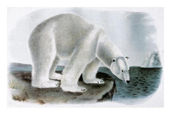 john-james-audubon-polar-bear-ursus-maritimus