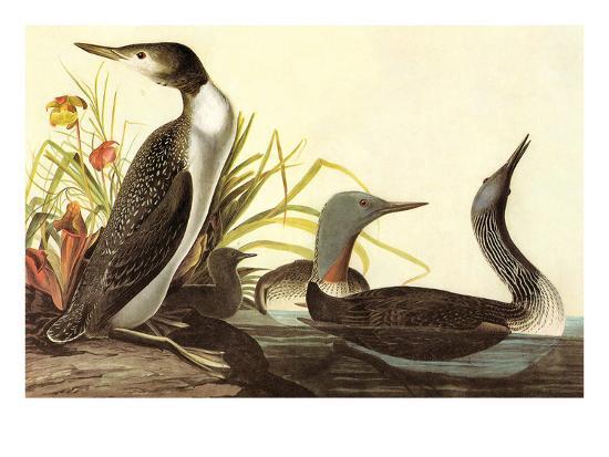 john-james-audubon-red-throated-loon