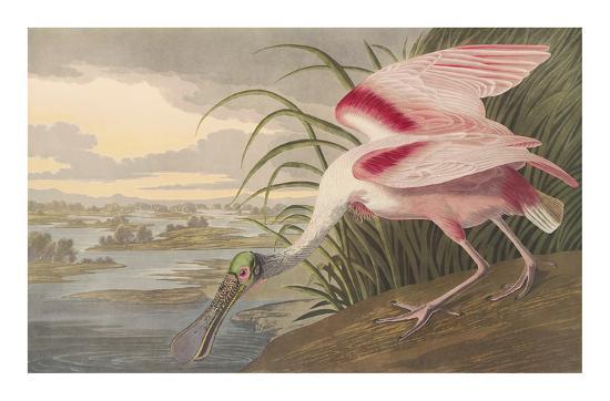 john-james-audubon-roseate-spoonbill